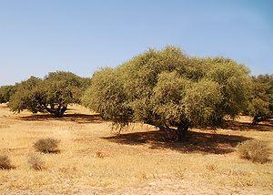 300px-Plantation_arganier_Luc_Viatour