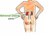 adrenal1_thumb[2]